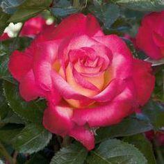 Hybrid Tea Roses | The Greenery Nursery and Garden Shop