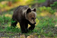 Bears are one of the cutest baby animals! http://blueridgemountainlife.com