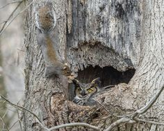 A very brave Squirrel near a Great Horned Owl in the Lehigh Valley, Pennsylvania, USA. Photo thanks to Harry Collins Photography. Harry says this squirrel spent most of the day bringing leaves up the tree to its nest, paying no mind to this female Great Horned Owl, seemingly knowing she wasn't leaving her eggs.