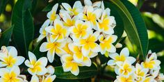 Πλουμέρια, το ινδικό φούλι Herbalism, Plants, Gardening, Decoration, Decorating, Garden, Lawn And Garden, Dekorasyon, Decorations