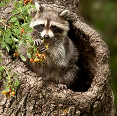 raccoons eating | Raccoon Eating Berries