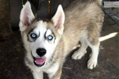 Male & Female Pups; Blue Eyes | Black, Grey, White Male Siberian Husky Puppy For Sale in Kansas City MO | 3413143291 | Dogs on Oodle Marketp...