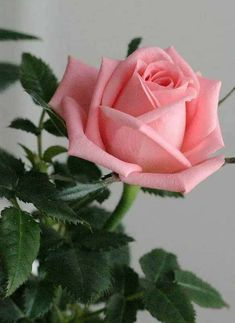 hybrid tea roses express - My site Beautiful Rose Flowers, Pretty Roses, Romantic Roses, Amazing Flowers, My Flower, Beautiful Flowers, Rose Pictures, Flower Photos, Beautiful Pictures