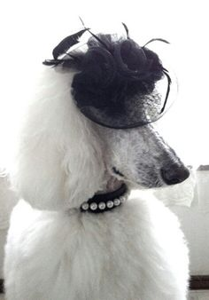 "Funny Hats: ""I'm just getting into the trend of wearing fascinators!"" #dogs #pets #Poodles Facebook.com/sodoggonefunny"