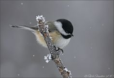 Black-capped Chickadee by Nick Saunders on Flickr.