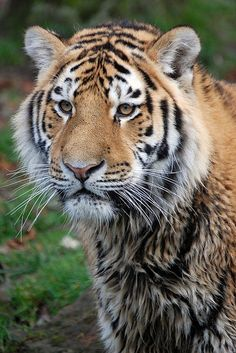 ☀Banham Zoo: Siberian Tiger by  by --CWH--                                                                                                                                                     More