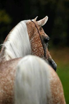 """Beautiful speckled horse, can you believe they used to call this """"flea bit""""?!"""