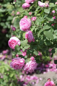 Container Flowers, Pink, Gardening, Flowers, Projects, Lawn And Garden, Pink Hair, Roses, Horticulture