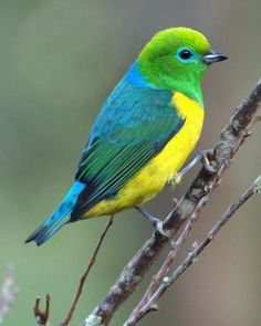 Blue-naped Chlorophonia - The blue-naped chlorophonia is a colourful South…