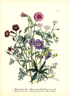 Mrs Loudon 1846 Hand Coloured Antique Botanical by PaperPopinjay Vintage Botanical Prints, Botanical Drawings, Antique Prints, Botanical Illustration, Botanical Flowers, Botanical Art, Crane, Pretty Flowers, Pink Flowers