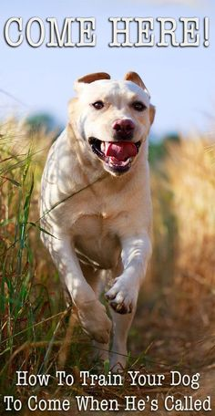 How To Train A Labrador Puppy Or Dog To Come - The Labrador Site cute puppy, siberian husky puppy, australian shepherd lab mix puppy Training Your Puppy, Dog Training Tips, Training Classes, Potty Training, Agility Training, Dog Agility, Training Online, Training Equipment, Training Schedule