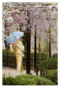 A Japanese Season. spring japan cherry blossom sakura flower pink