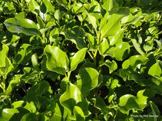 Taranaki Educational Resource: Research, Analysis and Information Network - Griselinia littoralis 'Broadway Mint' Tree Borders, Garden Hedges, Evergreen Trees, Gardening Supplies, Fruit Trees, Native Plants, Shrubs, Perennials, Nativity