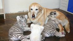 """""""Are you my mother?""""    never had puppies of her own, but has been surrogate mother to more than 30 animals like tigers, cheetahs, hippos"""