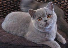 Pretty British Blue kitten