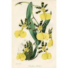 Antique Orchid Print - Oncidium, 1847 @rubylanecom #rubylane #VintagePrint