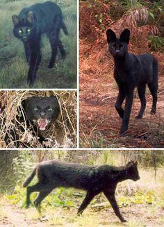 Black Beauties: 10 Amazing Melanistic Animals - WebEcoist