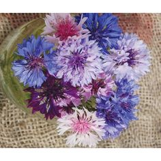 Full Sun Plants, Drought Tolerant, Cut Flowers, Shades Of Blue, Gardening Tips, Seeds, Lavender, Polka Dots, Bloom
