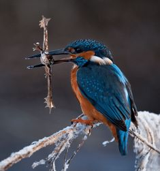 Common Kingfisher (Alcedo atthis) with the catch of a frog (Rana sp. Rare Birds, Exotic Birds, Colorful Birds, Common Kingfisher, Kingfisher Bird, Bird Barn, Barn Owls, Bird Facts, New Zealand Art