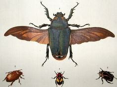 Drury C1780 Hand Col Insects, Flies Print. Torquata, Unicolor 3-44