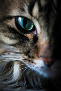 Cat (Ryan Policky) - Gorgeous color  ************************************************  (repin) #cat #cats #kitty #kitties #kitten #kittens #animal #animals #pet #pets #feline #eye - tå√