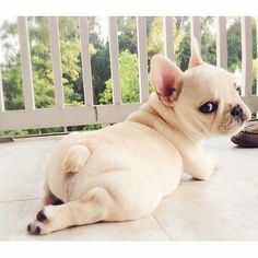 Frenchie Puppy | Dog Lover | Batpig | Bunny Bun | Bullen pup