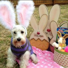 Lilly's Easter pic #schnauzer