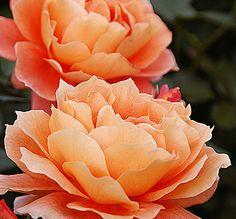~~ Rose ~~by ajpscs  Flickr.com