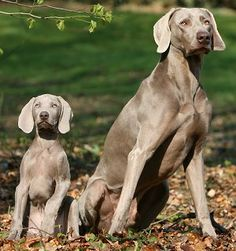 Okay everyone.. My female Weimaraner is pregnant and due any day now! This is what they look like. Puppies will be available around Valentines Day!