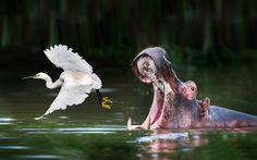 Una garceta levanta el vuelo ante la presencia de un hipopótamo en el lago Mburo, Uganda (David Driver, 2015)