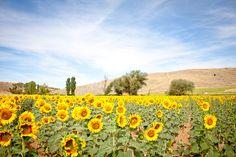 Love & Paella sunflower fields in Castilla La Mancha