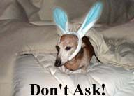 J.R. the dachshund as a bunny rabbit
