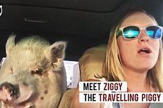 El Cerdito Pigmeo creció Imagina que adoptas un cerdito pigmeo y te dan gato por liebre, cuando te das cuenta tienes un cerdo de granja que pesa 250 kilos