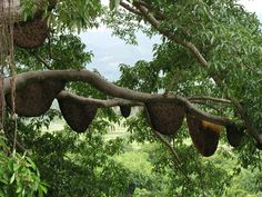 Wild Honey Tree, Alor Island Indonesia