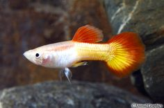 Tequila Sunrise male guppy