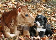 Border Collie puppy with Jersey Calf by MistyMornPhotography