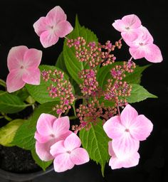 Hydrangea macrophylla 'Mariesii'. A very floriferous upright shrub with lacecap flowers, 210mm diam. Fertile flowers are pink, surrounded by white or pale pink sterile flowers. Introduced in 1879.
