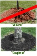 "Apply mulch in a ""doughnut"" shape in the drip zone of trees & shrubs, not a ""volcano"". Excessive mulching leads to distress of trees, encouraging surface roots to grow into the mulch as well as rot organisms & insects to invade the soft bark tissue covered by mulch. Worst materials: fresh grass clippings, peat moss, sawdust, ground up rubber, stones, pavers or black plastic. Best mulch choices: shredded hardwood mulch, organic mulch, recycled pallets, ground red pine bark & pine straw. -Ali…"