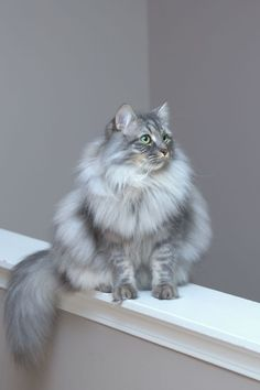 mostlycatsmostly:(Ivan the Siberian)