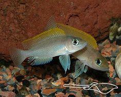 Lamprologus Caudopunctatus