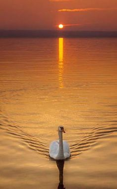 Sunset is the sunset in the afternoon. That time is beautiful scenery. We will present an article about sunset quotes love. Beautiful Sunrise, Beautiful Birds, Beautiful World, Beautiful Places, Beautiful Swan, Beautiful Scenery, Animals Beautiful, Cool Pictures, Cool Photos