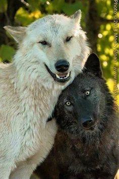wolves, save the wolves, wolf, wolf sanctuary, wolf sanctuaries
