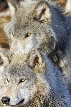 Canadian Wolves (Look at them!  They're smiling for the camera.  They're so polite!  LOL!)