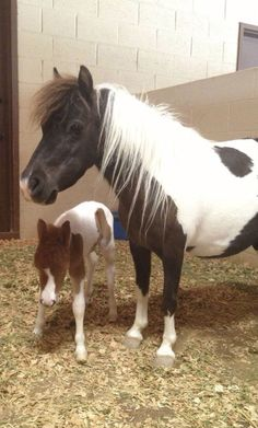 Momma miniature horse with her two day old baby. Oh, My Goodness! Baby Horses, Cute Horses, Pretty Horses, Horse Love, Beautiful Horses, Animals Beautiful, Mini Horses, Cute Baby Animals, Animals And Pets