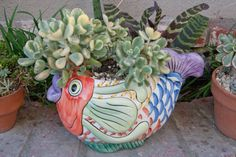 """Cotyledon tomentosa """"Bear's Paw"""" variegated fuzzy succulents in fish pot."""
