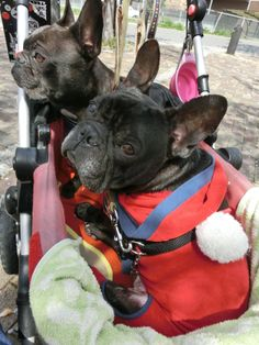 Please carry us, spoiled French Bulldogs