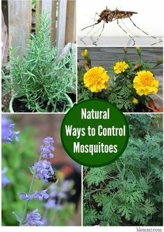 Marigolds  Many know that planting marigolds in a vegetable garden will help avoid pests, but the plant is also good at detracting mosquit...