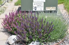 Lavender, salvia, and mountain sage in front of house on 06/04/2014.