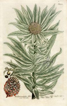 "Scolymocephalus Africanus from ""Phytanthoza Iconographia"" by Johann Wilhelm Weinmann 1683-1741."