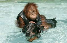 After losing his parents, this 3 year old orangutan was so depressed he wouldn't eat and didn't respond to any medical treatments.    This changed when a homeless dog became his best friend and gave him a new reason to live.